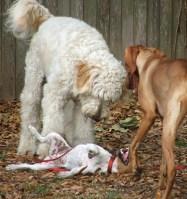 Tess & Otis standing over Boudicca!