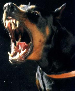 Doberman Territorial Barking