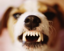"Jack Russell terrier snarls ""back off"""