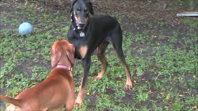 Darwin and Cooper Facing Off Sept 2013